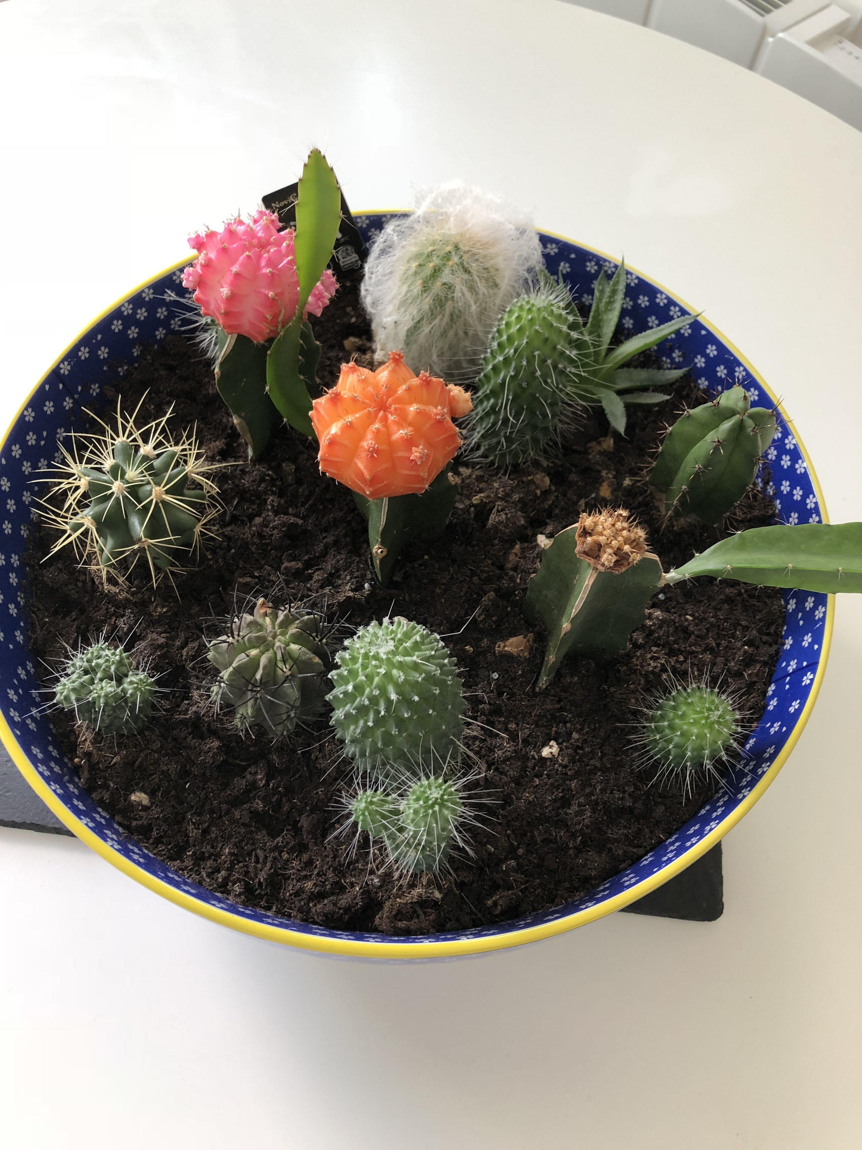 Bowl of Cactus